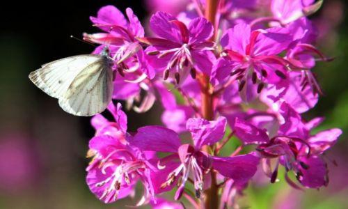 Zdjęcie SłOWACJA / Tatry Bielskie / Zielony Staw Kieżmarski / Kwiaty wierzbówki kiprzycy
