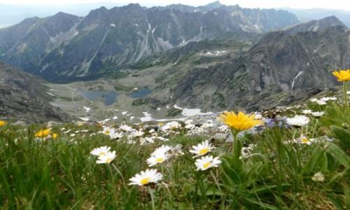 Zdjecie SłOWACJA / Tatry / gdzieś na szlaku / kwiaty w Tatrach :)