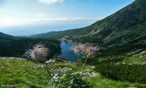 Zdjecie SłOWACJA / Wysokie Tatry. / Dolina Wielicka. / Owoce Sasanki Alpejskiej.