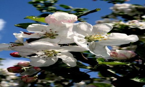 Zdjęcie SłOWACJA / Mała Fatra / ok. Terchowej / KONKURS - idzie wiosna.... kwitnąca jabłoń