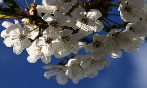 Zdjecie SłOWACJA / Mała Fatra / ok. Terchowej / KONKURS - idzie wiosna....jabłoń