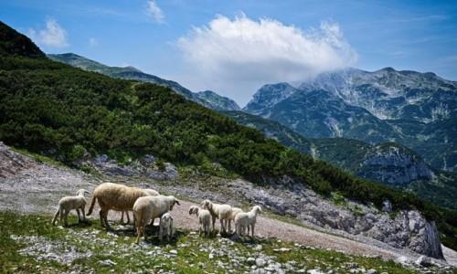 Zdjęcie SłOWENIA / Alpy Julijskie / Zadni Vogel / nie kozy i nie słonie...