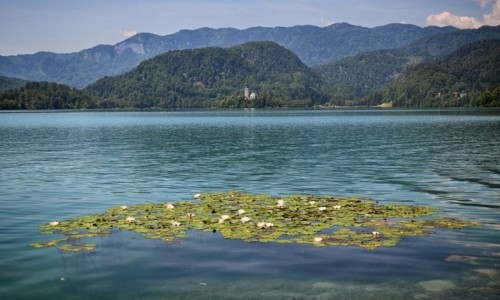 Zdjęcie SłOWENIA / Alpy Julijskie / Jezioro Bled / grzybienie...