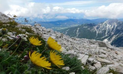 SłOWENIA / Alpy Julijskie / pod Mangart / kwiaty nasz szlaku