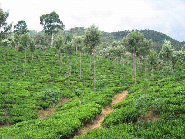 Zdjęcia: Okolice Nuwara Eliya, Okolice Nuwara Eliya, Uprawy_herbaty_w_okolicach_Nuwara_Eliya, SRI LANKA