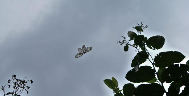 Zdjęcia:  , las deszczowy, motylek - rozpiętośc skrzydełek 30 cm, SRI LANKA