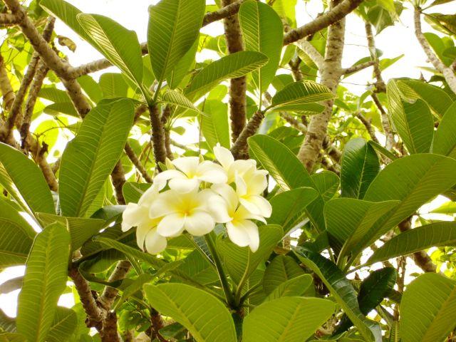 Zdjęcia:   ,   , Kwitną i pachną, SRI LANKA