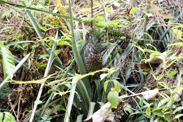 Zdjęcia:  ,  , Pobocze drogi - ananasy, SRI LANKA