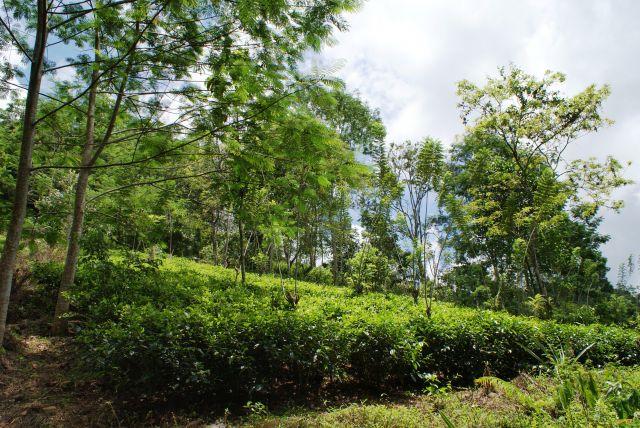 Zdjęcia:  ,  , Pobocze drogi - herbata, SRI LANKA