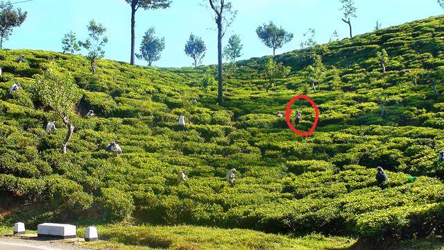 Zdjęcia: Okolice Nuwara Eliya, Środkowo-Północna Lanka, W krainie herbaty, słoni i palm kokosowych cd., SRI LANKA