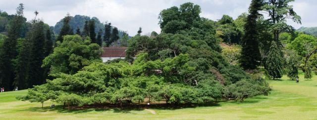 Zdjęcia: Ogród Botaniczny Peredenja w Kandy,  , Fikus Benjamin - jedno drzewo o powierzchni korony 1100 mkw., SRI LANKA