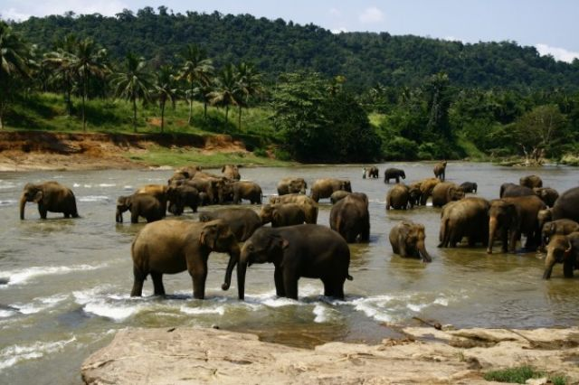Zdj�cia: Sierociniec sloni, Pinawella, Kapiace sie slonie, SRI LANKA