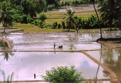 Zdjęcia: Polonnaruwa, Pola ryżowe, SRI LANKA