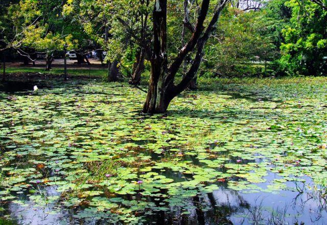Zdjęcia: drzewo, SRI LANKA