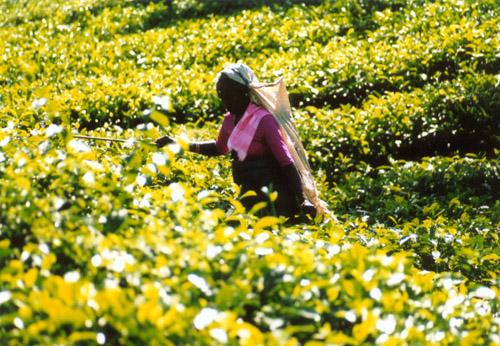 Zdjęcia: SL, Plantacje herbaty, SRI LANKA