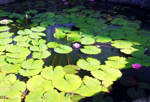 Zdjęcia: lilie, SRI LANKA
