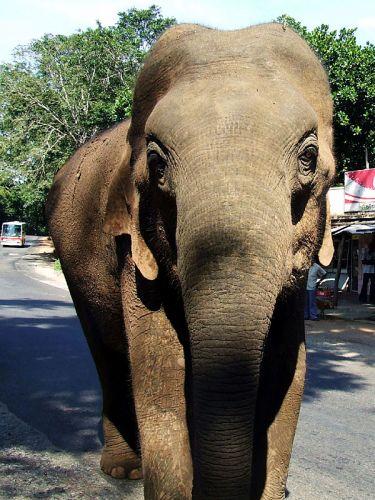 Zdjęcia: Kandy, słoń, SRI LANKA