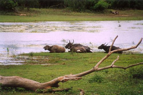 Zdjęcia: sl, Bawoły wodne, SRI LANKA