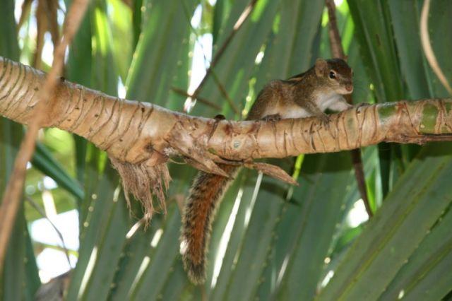 Zdjęcia: Habaraduwa, Poludnie, Kuzynka wiewiorki, SRI LANKA