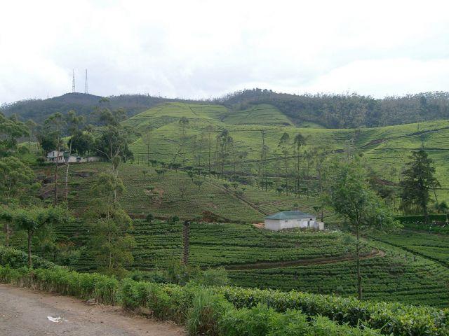 Zdjęcia: okolice Kandy, Centrum, Pola herbaciane, SRI LANKA