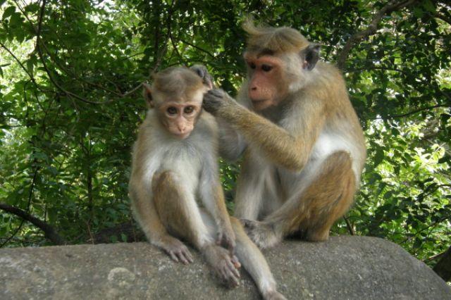Zdjęcia: Dambula, A uszy umyte?, SRI LANKA