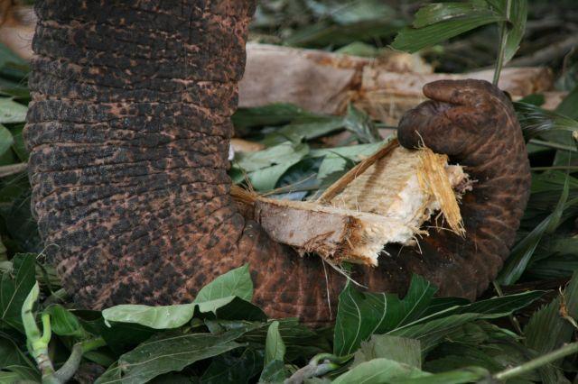 Zdjęcia: Sierociniec sloni Pinnawela, Zabawka slonia, SRI LANKA