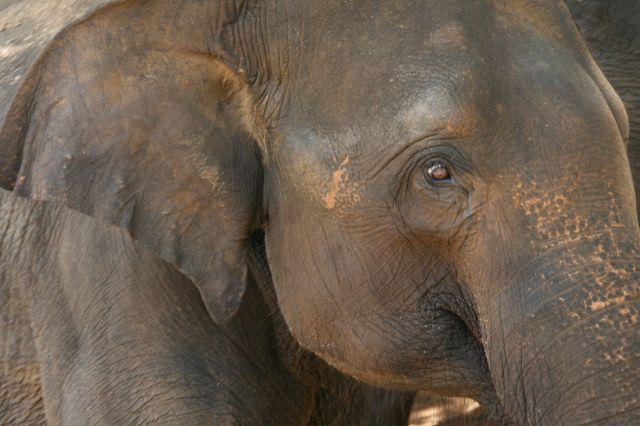Zdjęcia: Sierociniec sloni Pinnawela, Twarz w twarz, SRI LANKA