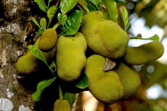 Zdjęcia: Galle/ okolica, Galle, flora i fauna / jackfruit, SRI LANKA