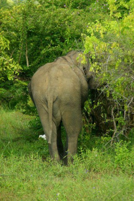 Zdjęcia: Yella, Yella, Proszę  słonia, SRI LANKA