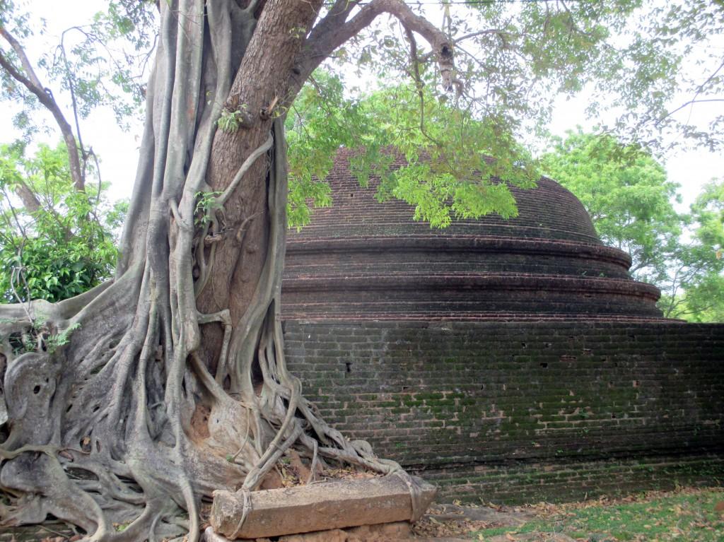 Zdjęcia: Otoczenie ruin pałacu, Polonnaruwa, W uścisku, SRI LANKA
