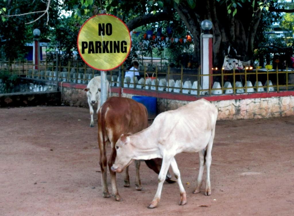 Zdjęcia: Święte drzewo na terenie zespołu świątń, Chilaw, Nie parkować?, SRI LANKA