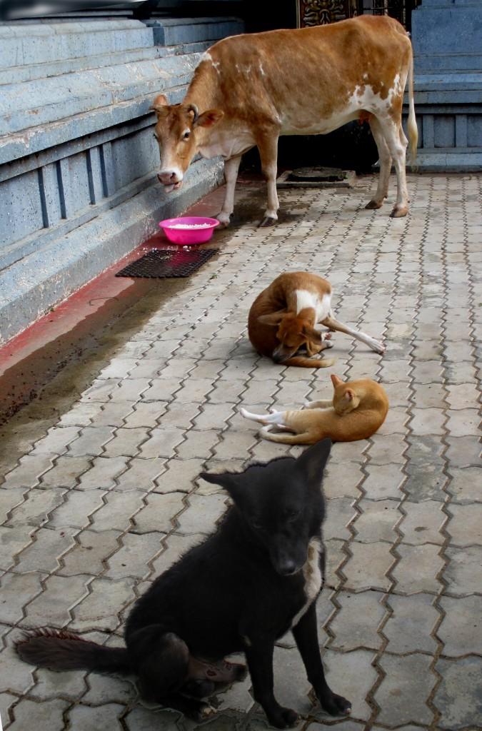 """Zdjęcia: Świątynia Kali, Chilaw, """"...jak pies z kotem...i krową"""", SRI LANKA"""