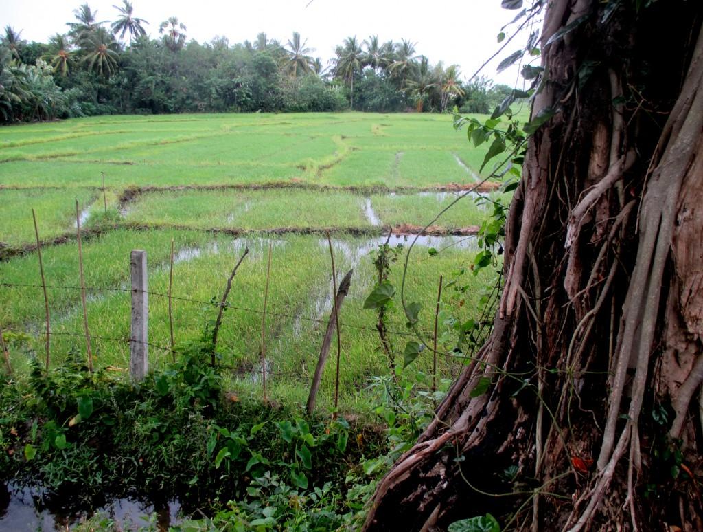 Zdjęcia: Pola ryżowe przy sztucznym jeziorze, Polonnaruwa, Przedsmak ryżu, SRI LANKA
