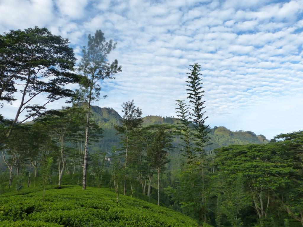 Zdjęcia: Nuwara Eliya, Prowincja Centralna, Wśród upraw herbaty, SRI LANKA