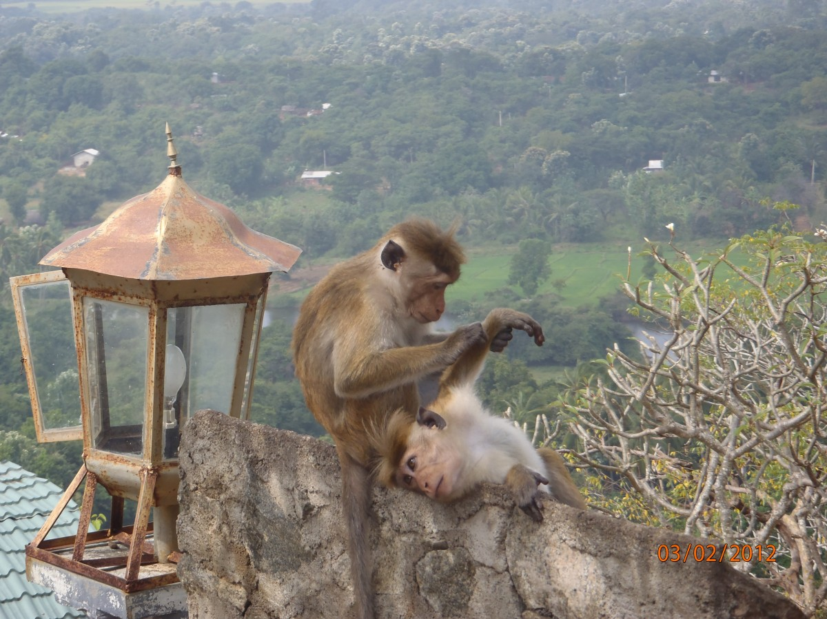 Zdjęcia: Dambulla, Dambulla, Małpki koło świątyni w Dambulla Sri Lanka, SRI LANKA