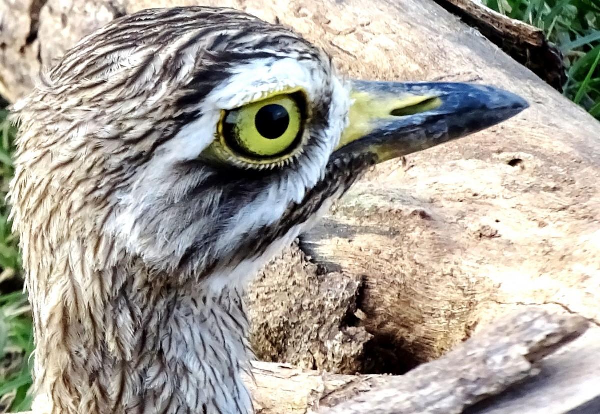 Zdjęcia: Kaudulla National Park, Habarana, Ptak , SRI LANKA