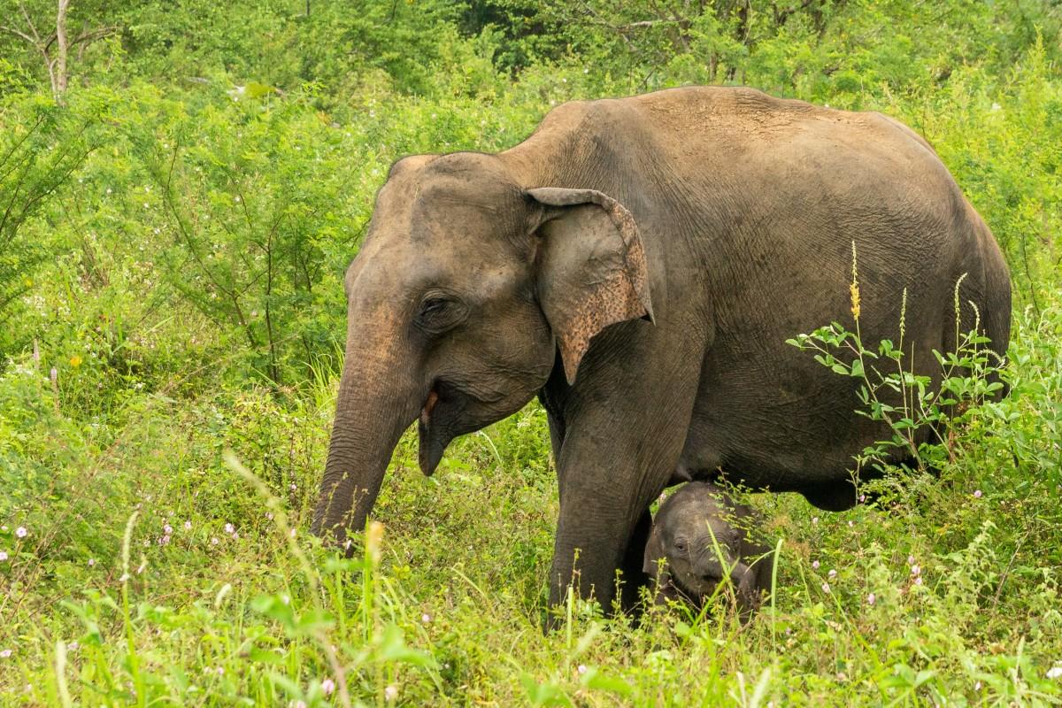 Zdjęcia: NP Udawalawe, centralny, Z mamą, SRI LANKA