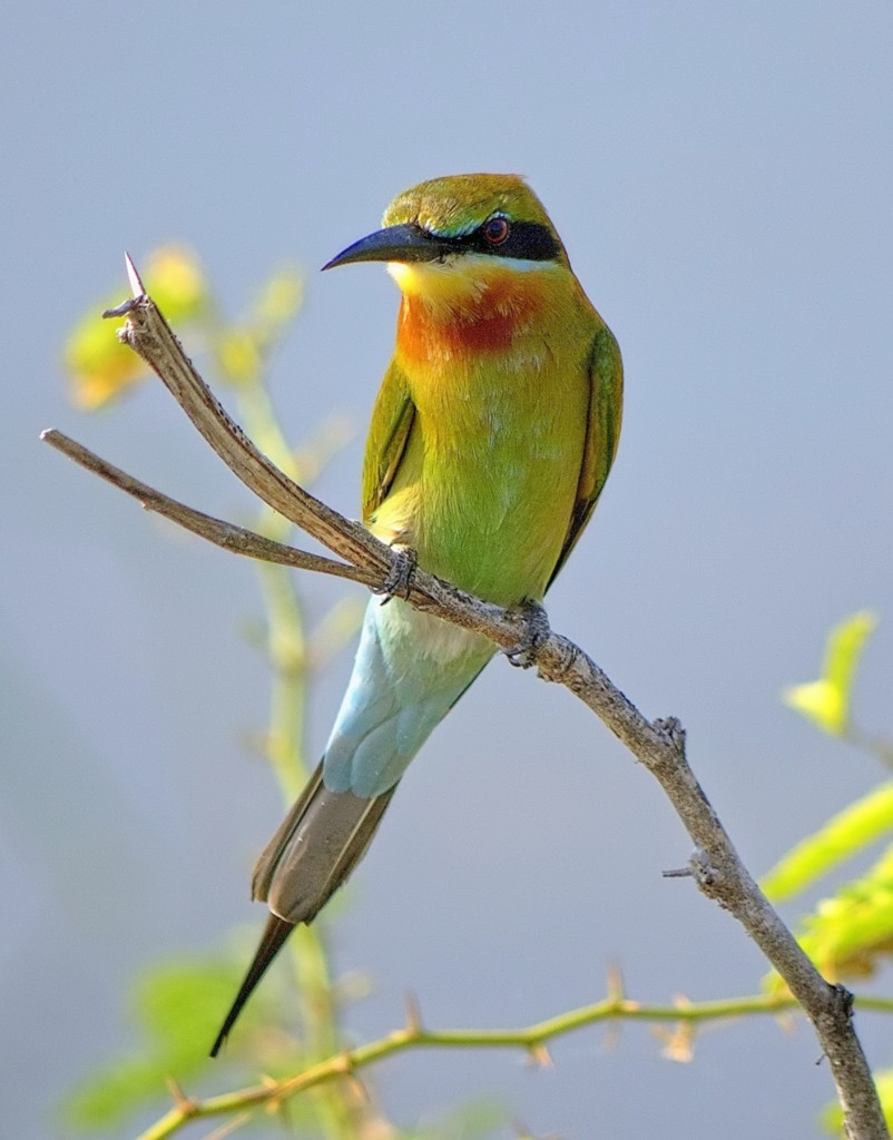 Zdjęcia: Bundala National Park, Sri Lanka, Ptaszek, SRI LANKA
