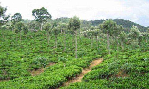Zdjecie SRI LANKA / Okolice Nuwara Eliya / Okolice Nuwara Eliya / Uprawy_herbaty_