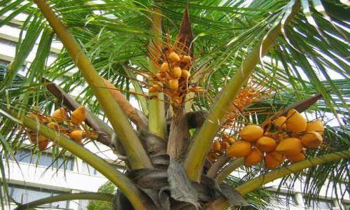 Zdjecie SRI LANKA / Kolombo / Kolombo, okolice starego Parlamentu w Forcie / Wszędobylskie_king_coconut