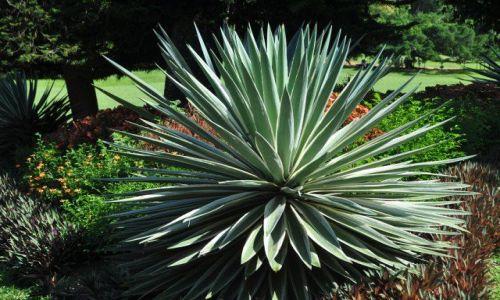 Zdjęcie SRI LANKA / Kandy / Ogrod botaniczny / Agawa