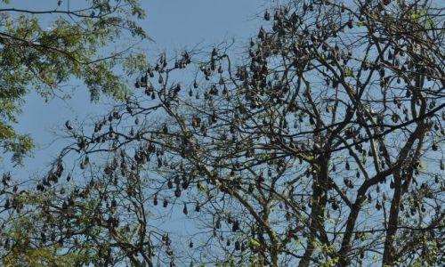 Zdjecie SRI LANKA / Kandy / Ogrod botaniczny / Nietoperze zamiast lisci