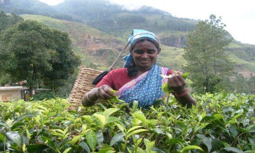 Zdjęcie SRI LANKA / Centrum kraju / Okolice Kandy / Zbieraczka herbaty