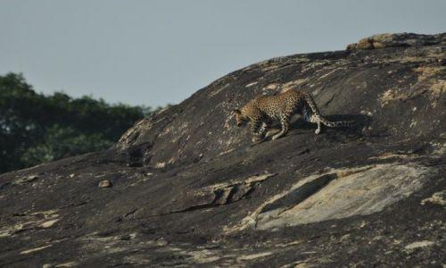 Zdjecie SRI LANKA / Yala National Park / Yala National Park / Leopard