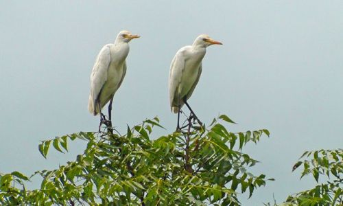 SRI LANKA / Środkowo-Północna Lanka / Okolice Parakrama Samudra / Ptactwo Lanki