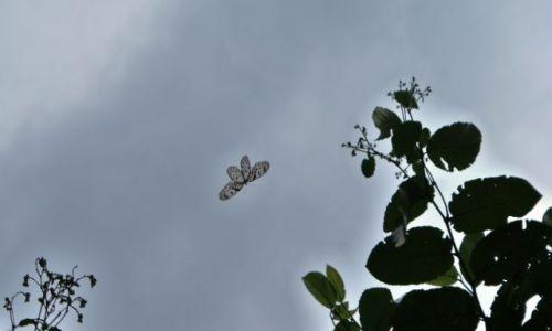 Zdjecie SRI LANKA / las deszczowy /   / motylek - rozpiętośc skrzydełek 30 cm