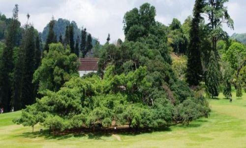 Zdjecie SRI LANKA /   / Ogród Botaniczny Peredenja w Kandy / Fikus Benjamin - jedno drzewo o powierzchni korony 1100 mkw.