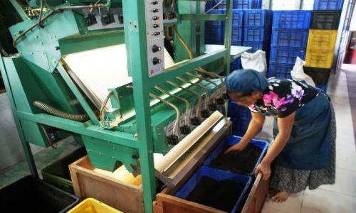 Zdjecie SRI LANKA / centralna część wyspy /   / W fabryce herbaty