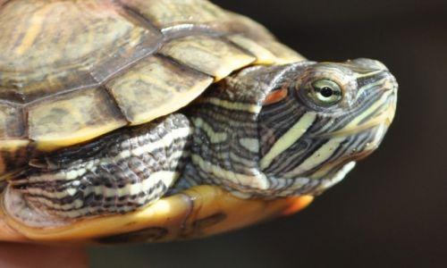 Zdjecie SRI LANKA / Bentota / rezerwat żółwia  / żółwik