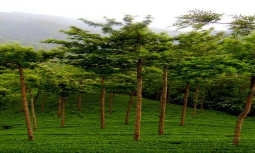 Zdjecie SRI LANKA / centralny / Nuwara Eliya / pola herbaty